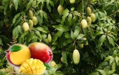 Mango  Nasıl Yetiştirilir