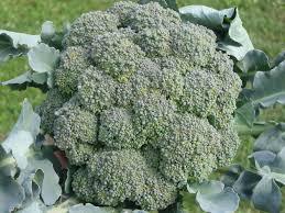 Brokoli Nasıl Yetiştirilir