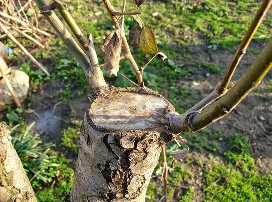 Kayısı Aşılama Kayısı Ağacı Nasıl Aşılanır